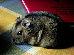 الحيوانات المهددة بالانقراض في العالم 250px-Hamster_Ruso.j