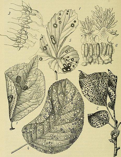 463px-Handbuch_der_Pflanzenkrankheiten_%