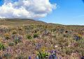 Hare desert-flowers.jpg