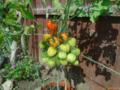 Harvey J. Jackson Tomkin tomato Generation 1.png