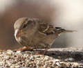 Haussperling sparrow moineau.tif