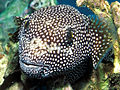 Hawaiian Spotted Pufferfish (111788302).jpg