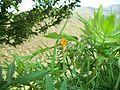 Hazri flower.jpg