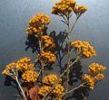 Helichrysum italicum subsp microphyllum g05.jpg