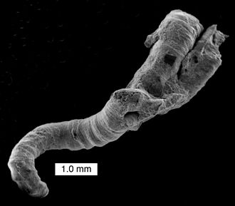 Microconchida - Helicoconchus elongatus, a microconchid from the Lower Permian of Texas. (See Wilson et al., 2011).