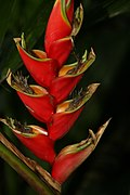 Heliconia rodriguensis 0zz.jpg