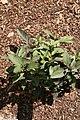 Heliopsis helianthoides var. scabra Summer Nights 1zz.jpg