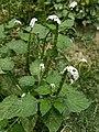 Heliotropium indicum.jpg