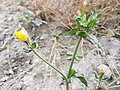 Helminthotheca echioides sl23.jpg