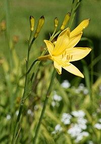 Hemerocallis lilioasphodelus 03