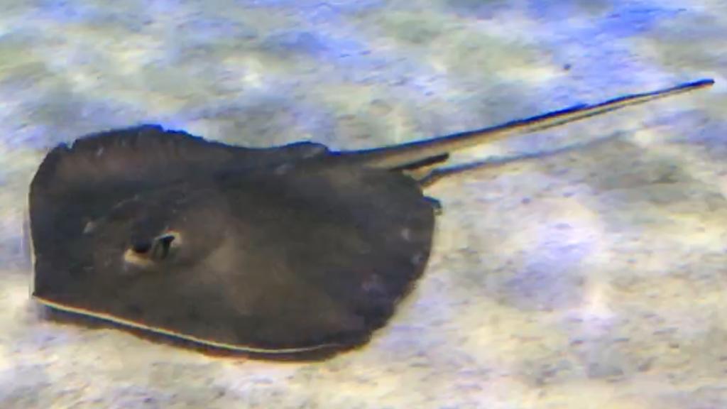 Hemitrygon akajei Lotte World Aquarium