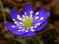 HepaticaNobilisSLO flower.JPG