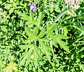 Heracleum sphondylium in Morzine (2).jpg