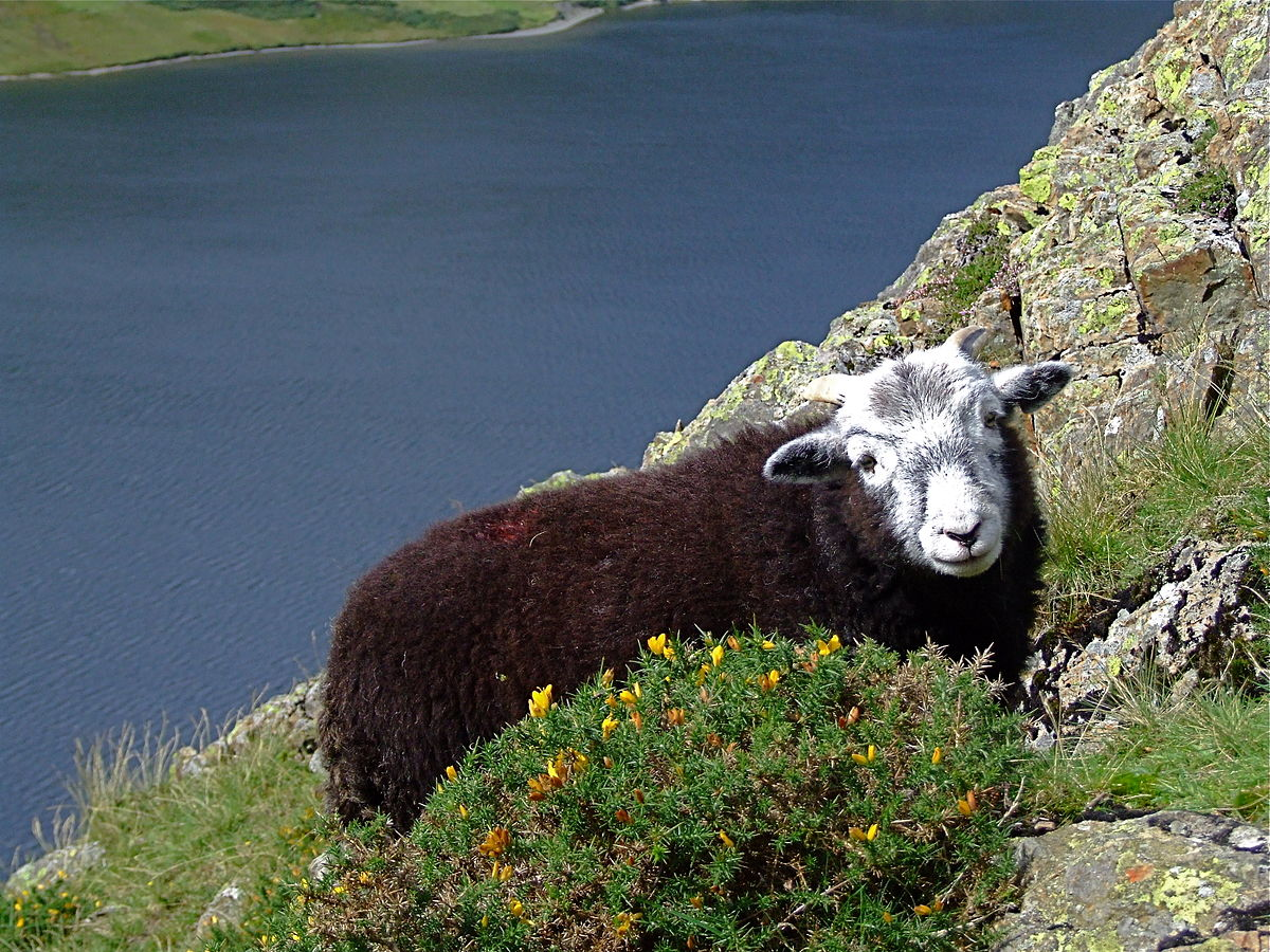 Herdwick above Crummock Water.jpg