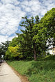 Hermesstrasse Naturdenkmal 399.jpg