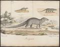 Herpestes ichneumon - 1700-1880 - Print - Iconographia Zoologica - Special Collections University of Amsterdam - UBA01 IZ22400079.tif