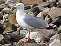 Herring Gull. - geograph.org.uk - 1405053.jpg