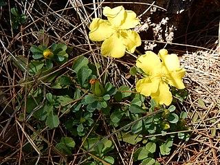 <i>Hibbertia diffusa</i> species of plant