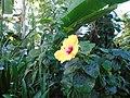 Hibiscus, Sefton Park Palm House.jpg