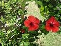 Hibiscus SDC12241.jpg