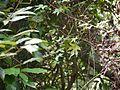 Hibiscus hispidissimus (16010013178).jpg