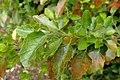 Hibiscus insularis kz3.jpg