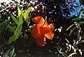 Hibiscus kokio Kokee2.jpg