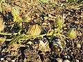 Hibiscus trionum sl46.jpg