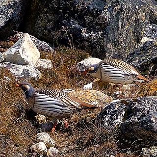 Himalayan snowcock Species of bird