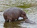 Hippos (Hippopotamus amphibius) (12011266365).jpg