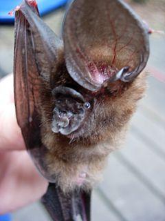 Ridleys leaf-nosed bat species of mammal