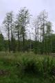 Hoher Vogelsberg Wannersbruch NR 319289 Reforestation Alnus glutinosa Coarse woody debris Snag.png