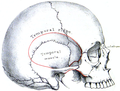 Holden's human osteology (1899) - Plt15 Fig02.png