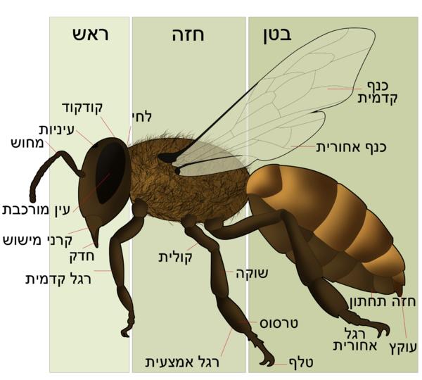 HoneyBeeAnatomyHE.png