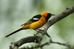 Hooded Oriole - Texas - USA H8O3118 (23863221896).jpg