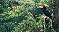 Hornbill on Gunung Palung National Park.jpg