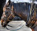 Horse (8058239125) (2).jpg