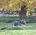 Horses in North Cerney, Gloucestershire, England.jpg