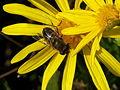 Hoverfly on flower.JPG