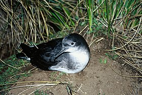 Hutton's shearwater (DOC).jpeg