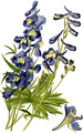 Hybrid Larkspur-Favourite Flowers Garden Greenhouse-1-0044-11.png