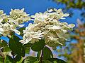 Hydrangea paniculata-IMG 8626.jpg