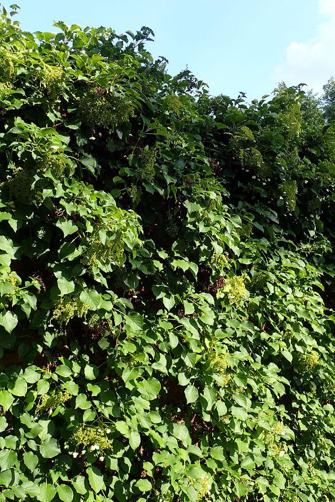 Image result for hydrangea vine
