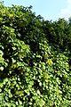 Hydrangea petiolaris kz1.jpg