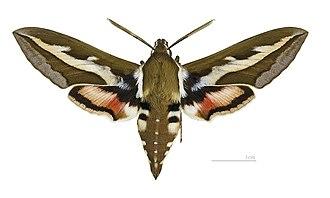 Hyles gallii - Image: Hyles gallii MHNT male dos