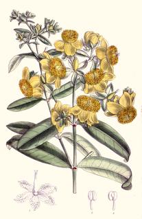 <i>Hypericum frondosum</i> species of plant