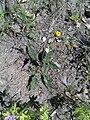 Hypochaeris maculata 01.jpg