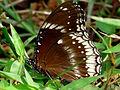 Hypolimnas bolina female by Kadavoor.jpg