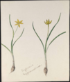 Hypoxis hygrometricae by Susan Fereday.png