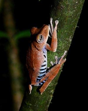A Convict Treefrog (Hypsiboas calcaratus) at Y...